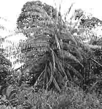 arbre_rotang